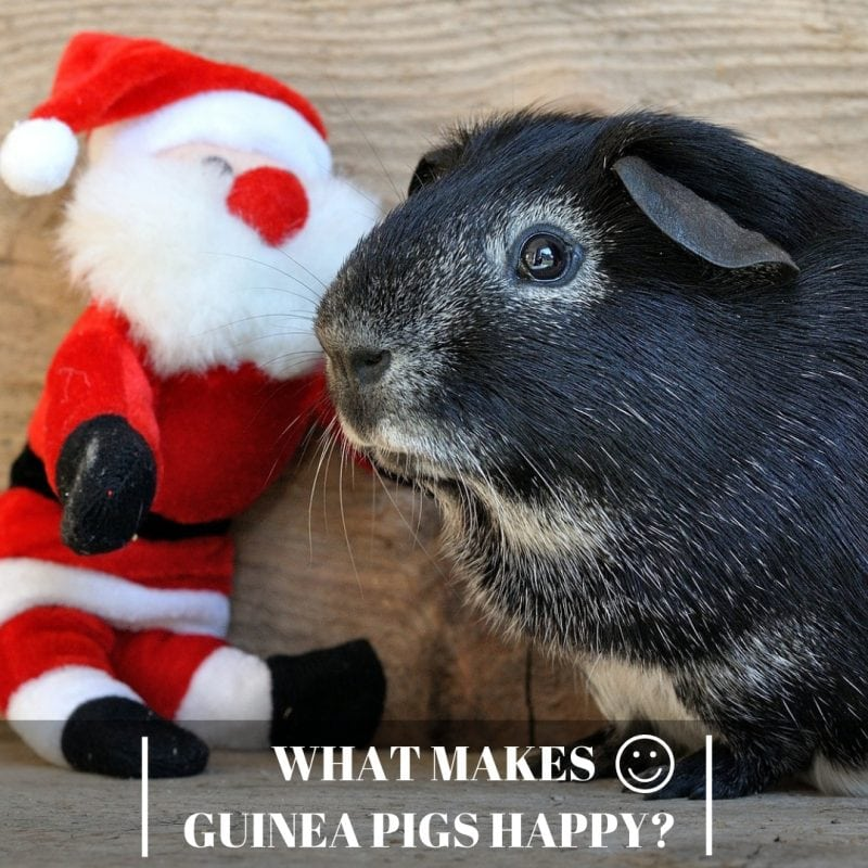 What Makes Guinea Pigs Happy?