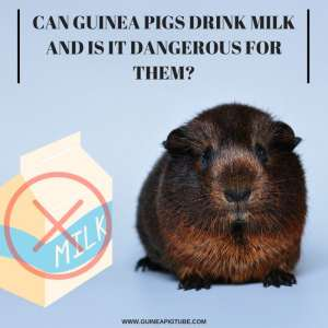 Can Guinea Pigs Drink Milk and Is It Dangerous for Them