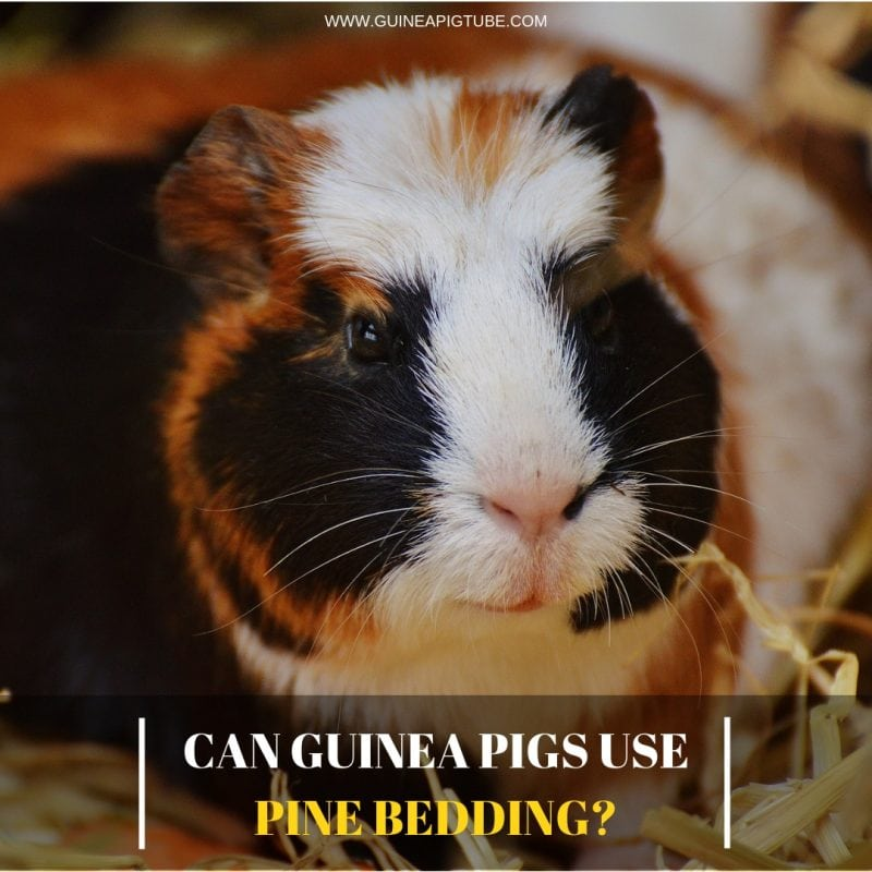 Can Guinea Pigs Use Pine Bedding Guinea Pig Tube