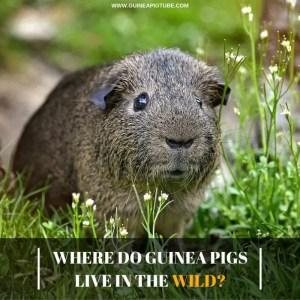 Where Do Guinea Pigs Live in The Wild
