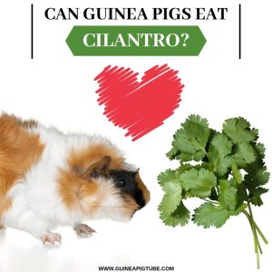 Can Guinea Pigs Eat Cilantro