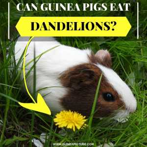 Can Guinea Pigs Eat Dandelions_