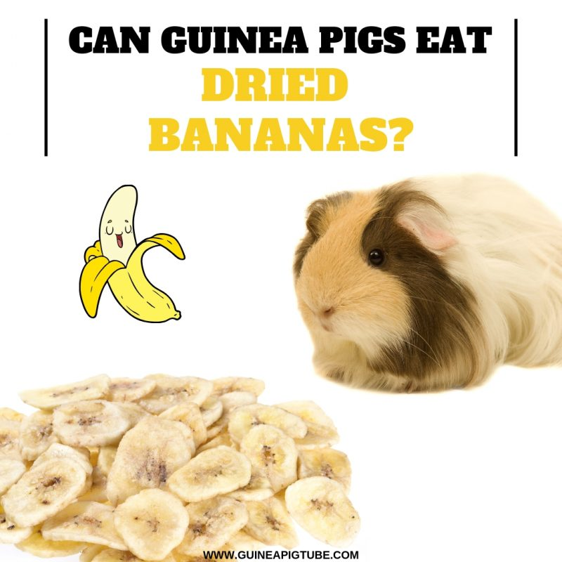 Can Guinea Pigs Eat Dried Bananas