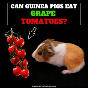 Can Guinea Pigs Eat Grape Tomatoes