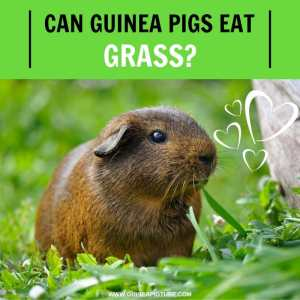 Can Guinea Pigs Eat Grass