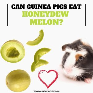 Can Guinea Pigs Eat Honeydew Melon