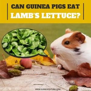 Can Guinea Pigs Eat Lamb's Lettuce