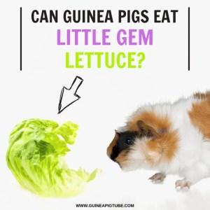 Can Guinea Pigs Eat Little Gem Lettuce