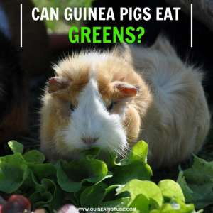 Can Guinea Pigs Eat Greens
