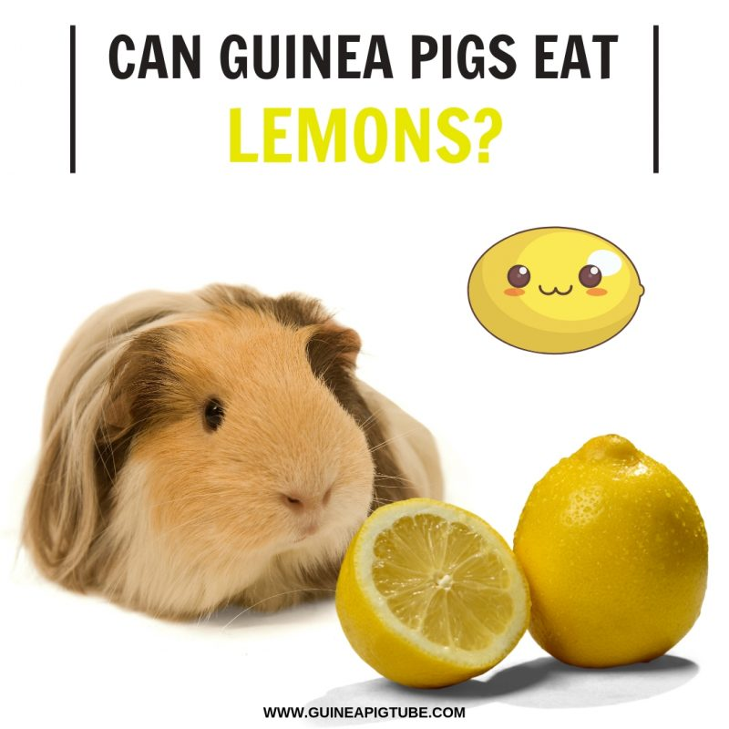 Can Guinea Pigs Eat Lemons