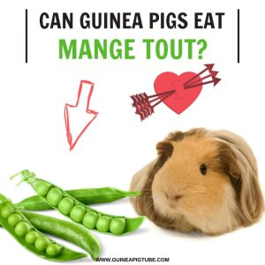 Can Guinea Pigs Eat Mange Tout