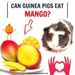 Can Guinea Pigs Eat Mango