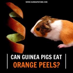 Can Guinea Pigs Eat Orange Peels.