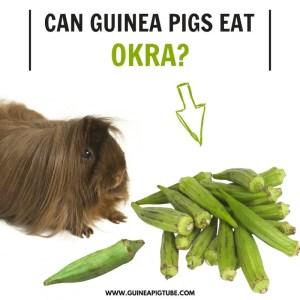 Can Guinea Pigs Eat Okra