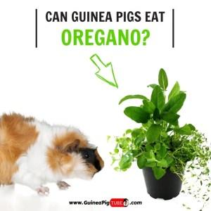 Can Guinea Pigs Eat Oregano