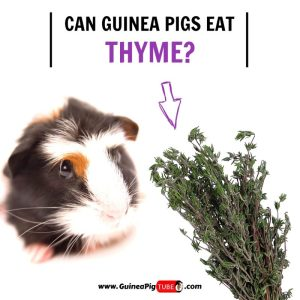 Can Guinea Pigs Eat Thyme (Benefits, Risks, Serving Size & More)