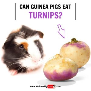 Can Guinea Pigs Eat Turnips (Benefits, Risks, Serving Size & More)..