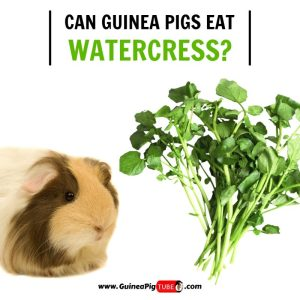 Can Guinea Pigs Eat Watercress (Benefits, Risks, Serving Size & More)