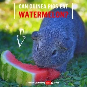 Can Guinea Pigs Eat Watermelon (Benefits, Risks, Serving Size & More)