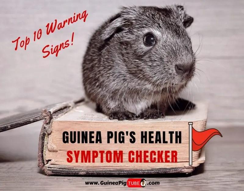 Guinea Pig's Health Symptom Checker Top 10 Warning Signs