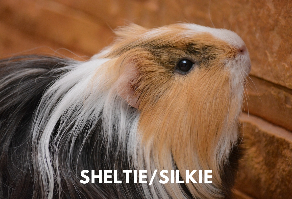 Sheltie Guinea Pig