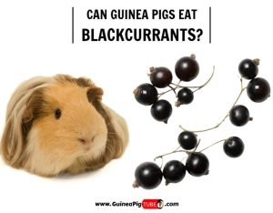 Can Guinea Pigs Eat Blackcurrants