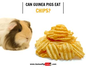 Can Guinea Pigs Eat Chips (Risks, Facts & More)