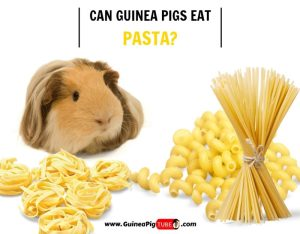 Can Guinea Pigs Eat Pasta (Risks, Facts & More)