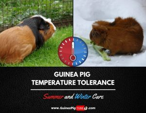 Guinea Pig Temperature Tolerance Summer and Winter Care