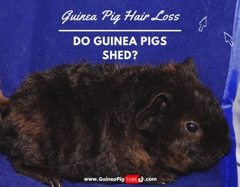 Are Guinea Pigs Loud At Night? - Guinea Pig Tube