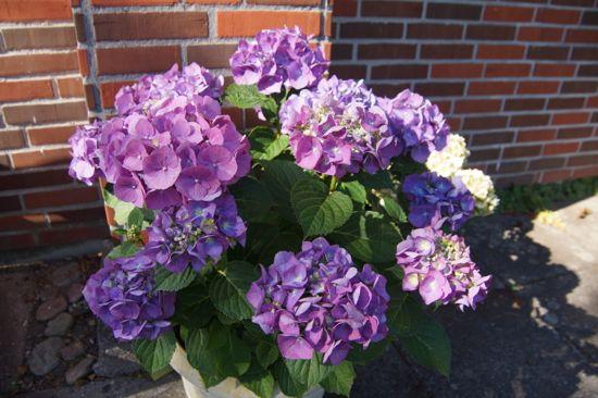 Smukke Hortensiaer