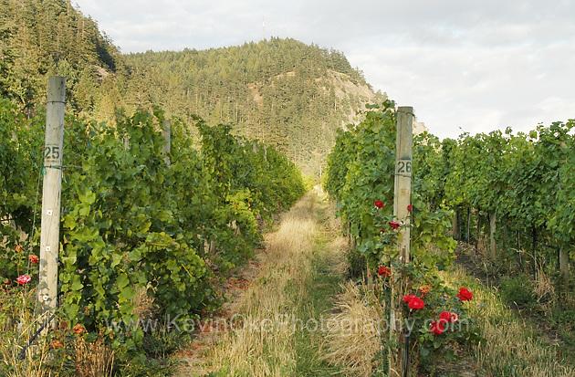 Roses and grapes at the Saturna Island Vineyard - Saturna Island