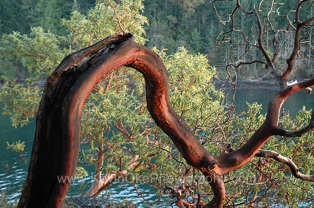 An Arbutus tree hanging over the waters edge on Roe Islet at Roesland in the Gulf Islands National Park Reserve of Canada, North Pender Island, BCArbutus tree on Roe Islet, Pender Island