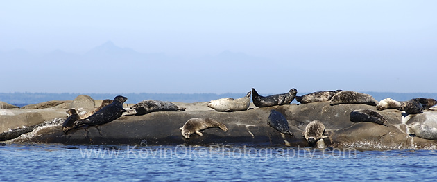 Harbour Seals (Phoca vitulina) are found throughout the Gulf Islands.