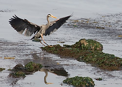Great Blue Heron, Denman Island, British Columbia