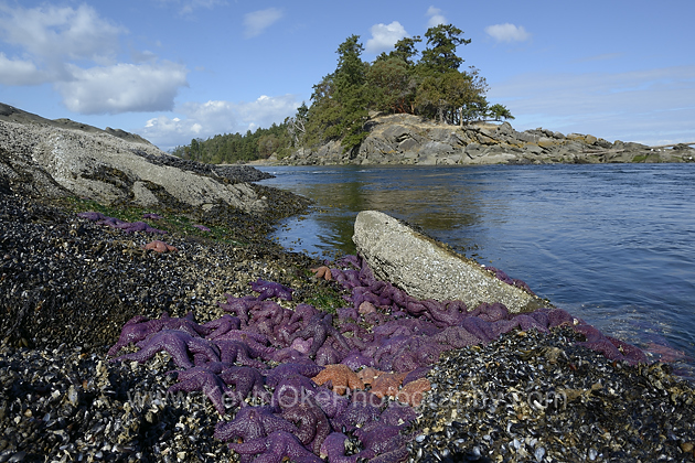 Sea stars at Boat Passage, Saturna Island