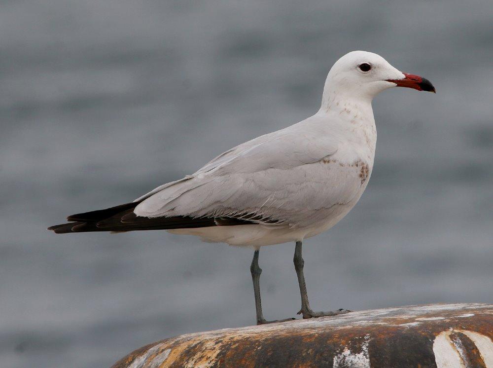 https://i1.wp.com/www.gull-research.org/audouinii/images02/April_020sharp.jpg
