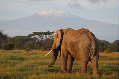 éléphant devant Kilimandjaro
