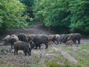 Gum Log Plantation feral hog bounties