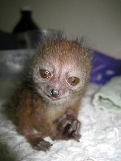 Baby Bamboo Lemur