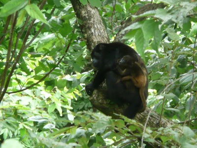 Baby Howler Monkey and Mom