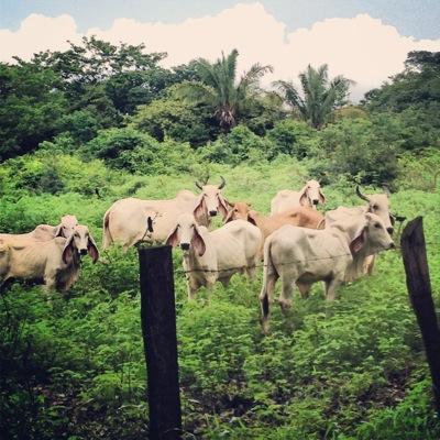 Spectator Cows