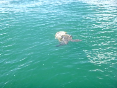 Turtle Pair