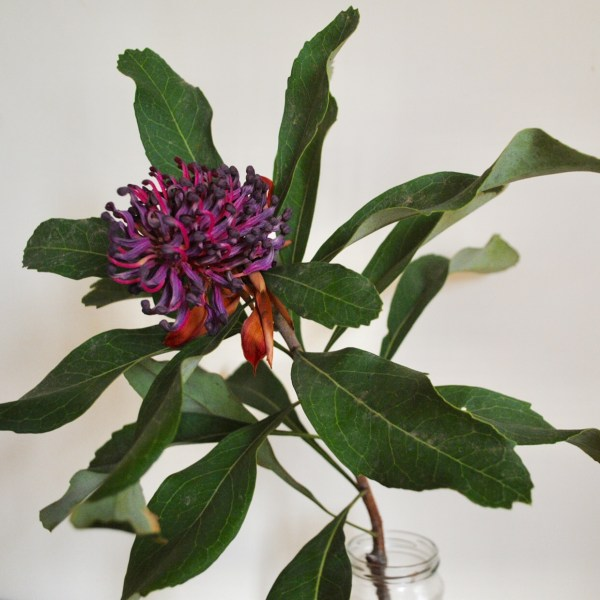 Aged Australian waratah flower