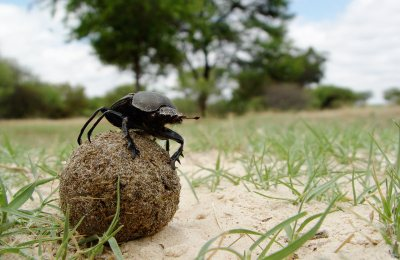 Dung Beetles Navigate Via the Milky Way, First Known in Animal Kingdom