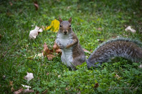 Squirrel in Marcus Garvey Park