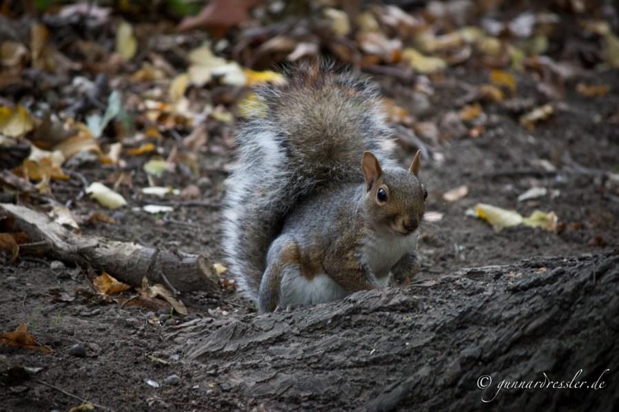 Squirrel in Marcus Garvey Park