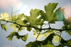 Kayra Şarköy Bağ Bozumu ve Şarap Tadımı Gezisi