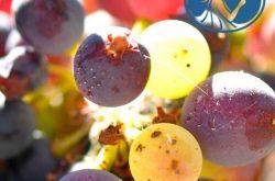 Online Eğitim: Oenotrian Wine School WSET 3. Seviye Şarap Eğitimi