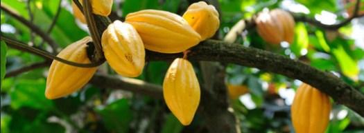 kakao ağacı kakao çekirdeği